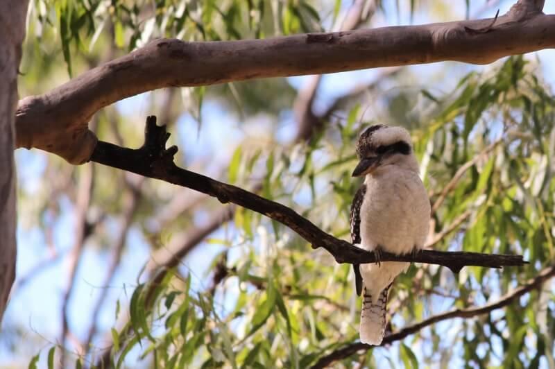 A watchful kookaburra at the Grey Gum Picnic Area. Photo source: Judith Salecich 2016.
