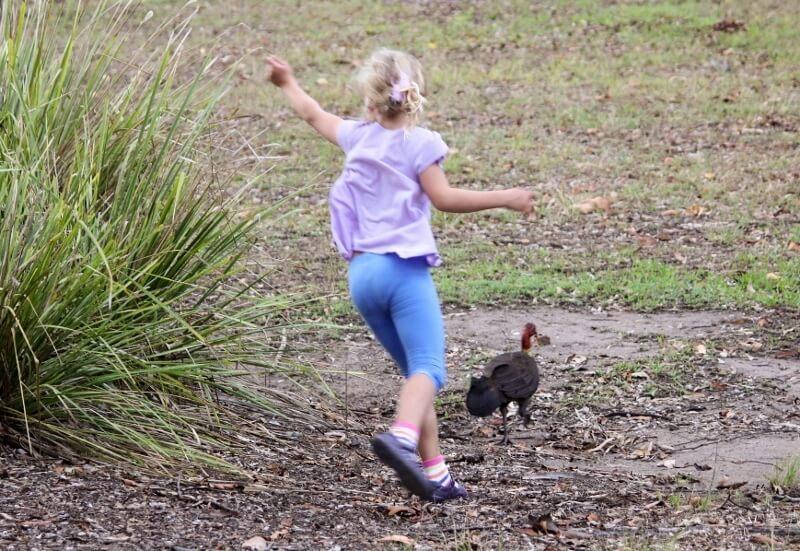 My granddaughter chasing away the pesty bush turkey. Photo source: Judith Salecich 2016.