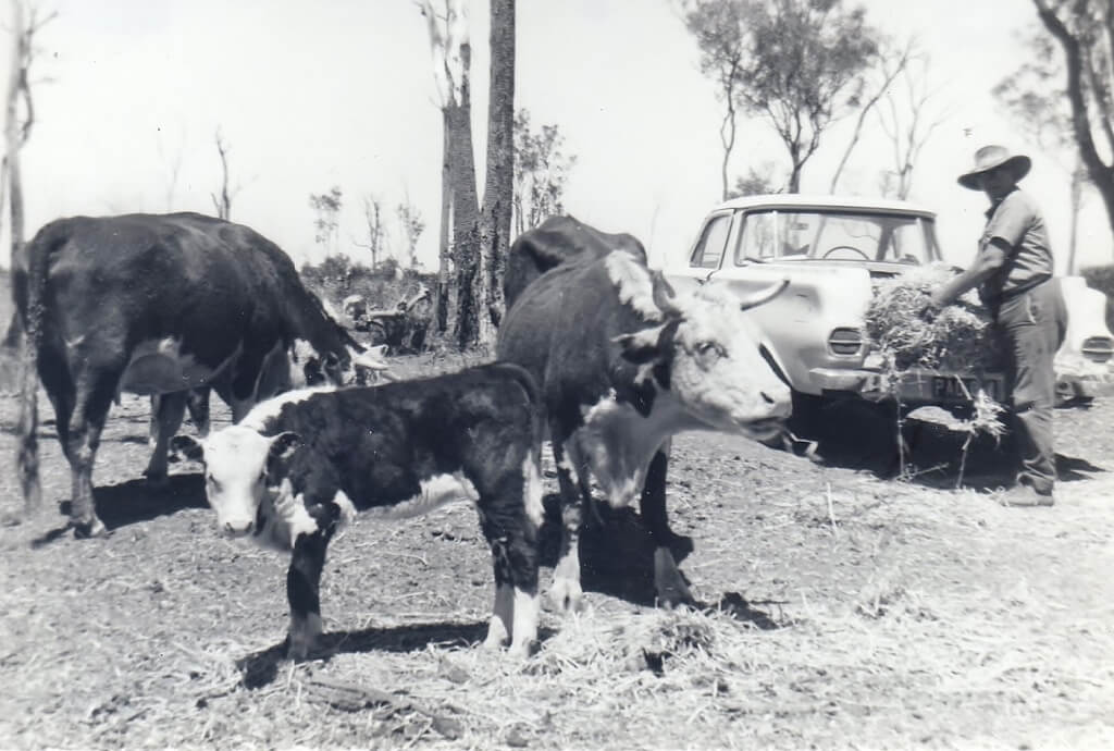 1960s: Hand feeding cattle during a drought