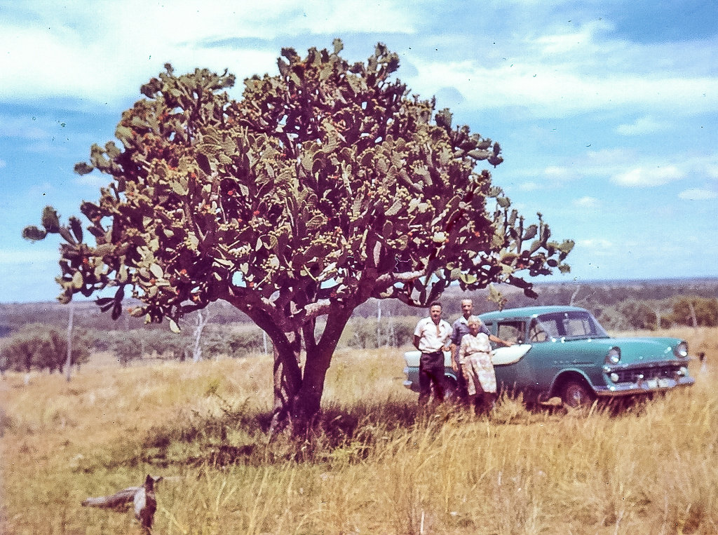 1973. My grandmother, uncle and visitor inspecting a huge prickly pear tree on my grandmother's property at Rannes, Central Queensland. Photo source: Proposch Family archives.