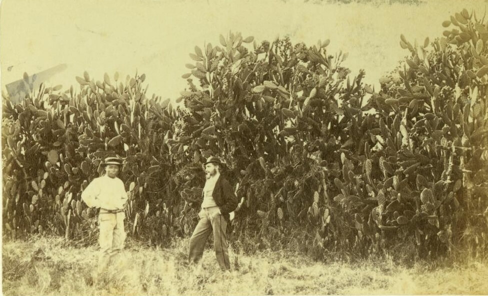1872. Prickly pear hedges on a property at Gracemere, near Rockhampton, Central Queensland. Photo source: State Library of Queensland. Public domain.