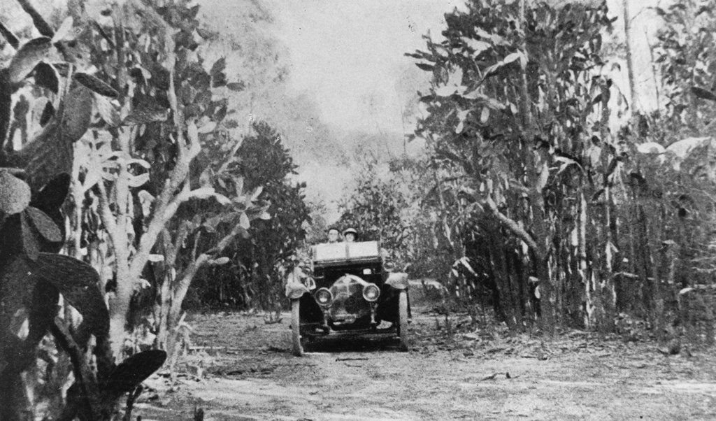 1921. Pear trees over 20 feet (6 metres) high on the Gogango Range, about 43 miles (70 kilometres) southwest of Rockhampton, Central Queensland. Photo source: State Library of Queensland. Public domain.