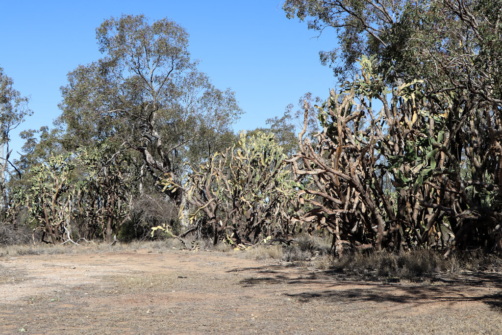 Huge prickly pear trees growing by the roadside at Kindon, between Millmerran and Goondiwindi, southern Queensland. Photo source: Judith Salecich 2019.