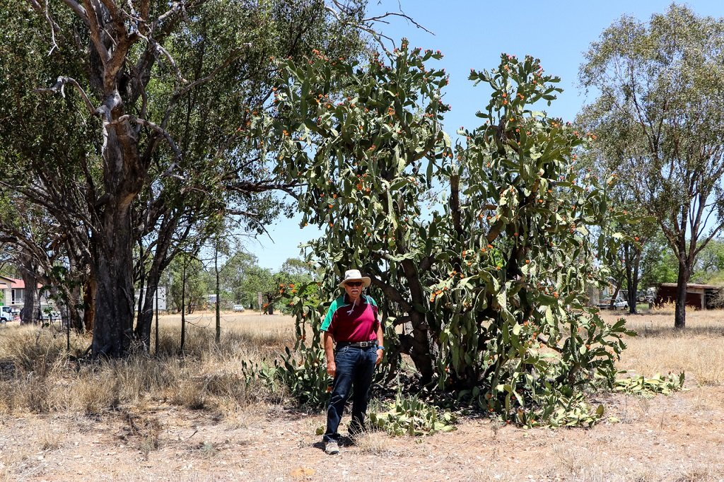 Huge tree of Opuntia tomentosa at Jericho, Central Queensland. The small town of Jericho is about 500 km west of Rockhampton. Photo source: Judith Salecich 2019.