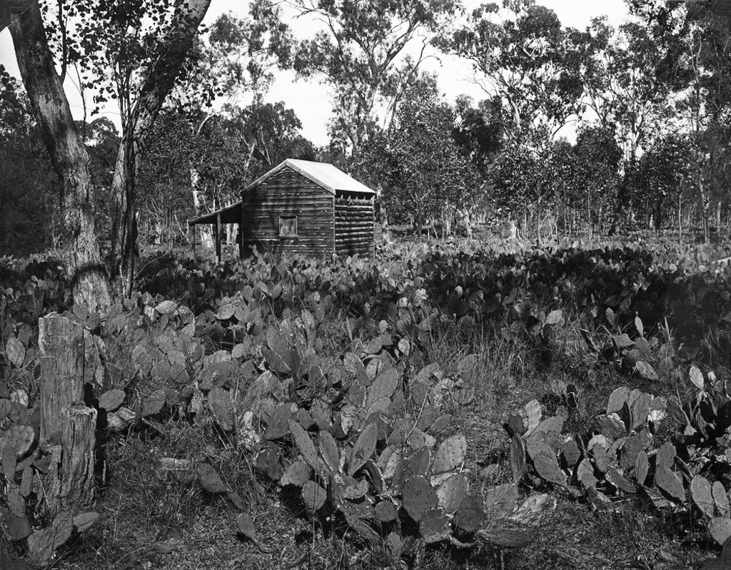 May, 1928. Abandoned property overtaken by prickly pear in the Chinchilla area. Photo source: State Library of Queensland. Public domain.