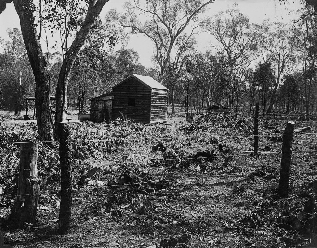 October, 1929. Property at Chinchilla after treatment of prickly pear by using the Cactoblastis moth. Photo source: State Library of Queensland. Public domain.