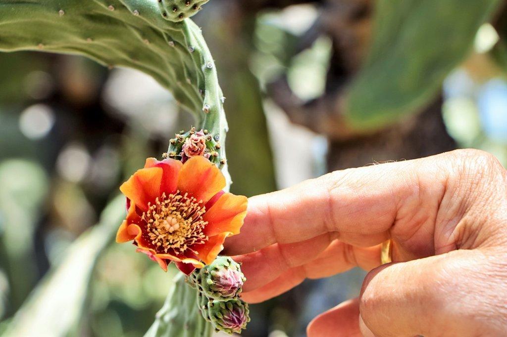 Orange flower of Opuntia tomentosa. Photo source: Judith Salecich 2019.