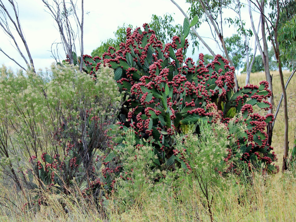 Prickly pear full of red fruit, near Inglewood, southern Queensland. Photo source: Judith Salecich 2015.