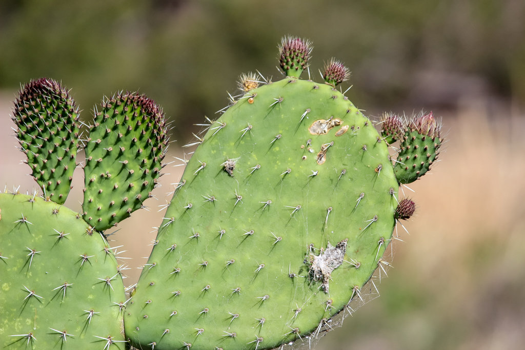 The short spines of another species of Opuntia. We found this one by the highway between Moura and Theodore, Banana Shire, Central Queensland. Photo source: Judith Salecich 2019.