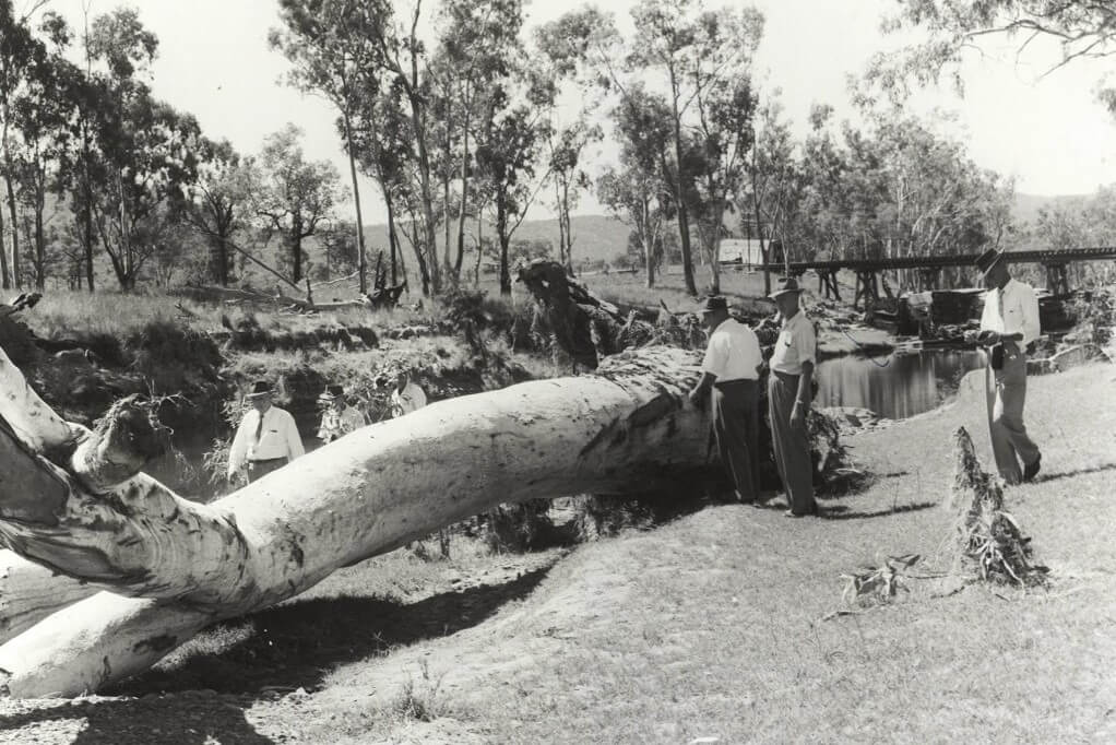 1960. Investigators inspecting the large tree that allegedly smashed into Pier 5 of the Medway Creek rail bridge, causing the fatal accident on 26 February 1960. Photo source: Queensland State Archives. Public domain.