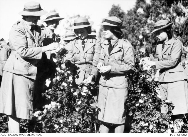 c. 1942. Members of the Women's National Emergency Legion (WNEL) in a field picking cotton. In the group are Mrs Myra Kelly, commandant of Rockhampton WNEL 1942-1945 (far left), and her daughter Ruth Kelly (later Ross) (far right). WNEL was a voluntary organisation whose members helped out in hospitals, on farms, as air spotters and in other areas of need within the community. Photo source: Australian War Memorial. Public domain.