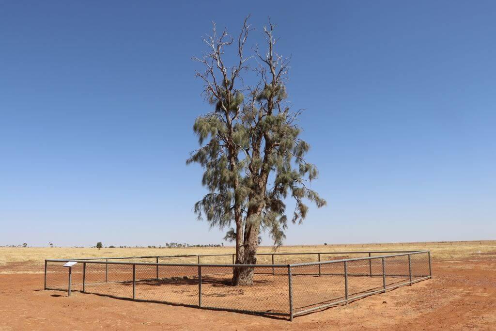 2019. Corroboree tree (a Wadi tree), Boulia. Photo source: Salecich collection 2019.